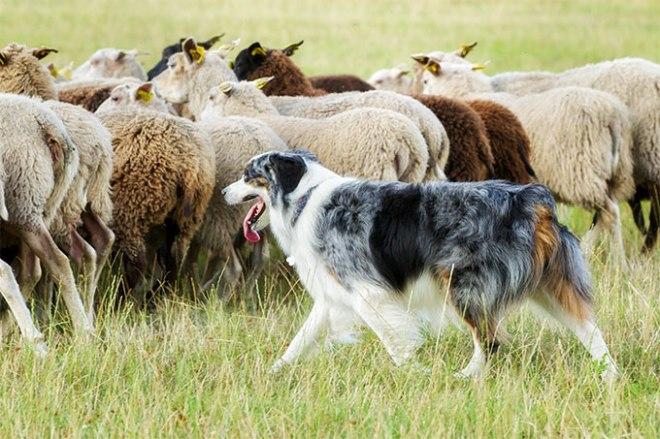 7-herding